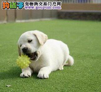 郑州正规犬舍高品质拉布拉多带证书微信看狗真实照片包纯