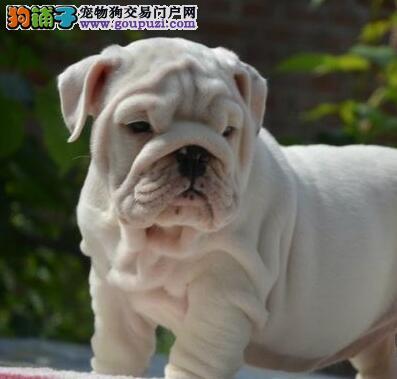 上海大型英牛养殖基地培育血统优良英国斗牛犬宝宝转让