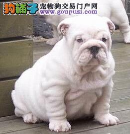 广州哪里有卖斗牛犬 广州哪里出售斗牛犬