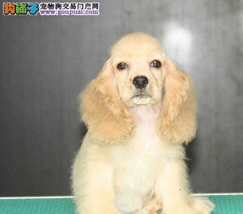专业认证血统纯种繁殖基地打造顶级可卡幼犬出售签质保图片