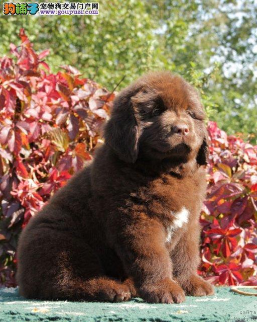 正规狗场犬舍直销纽芬兰犬幼犬终身售后保障