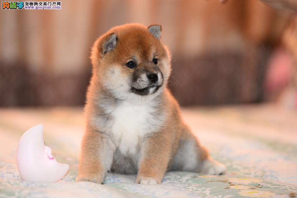 大理精品萌宠柴犬宝宝出售 忠诚活泼人见人爱柴犬幼犬