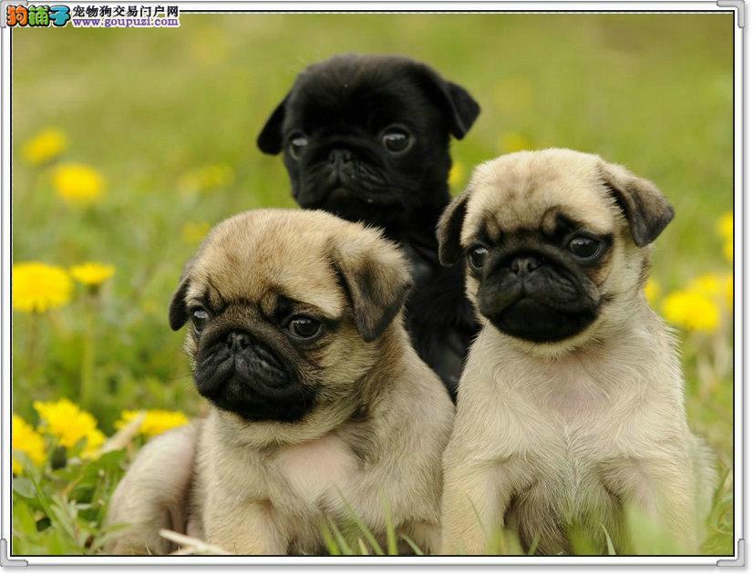 出售巴哥犬颜色齐全公母都有保障品质一流专业售后