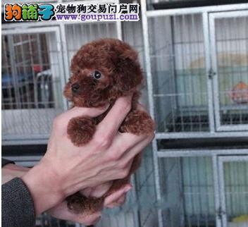 宁波超可爱迷你茶杯犬火热出售中 长不大的卷毛泰迪熊