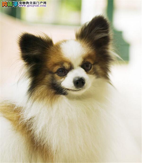 武汉蝴蝶犬多少钱一只