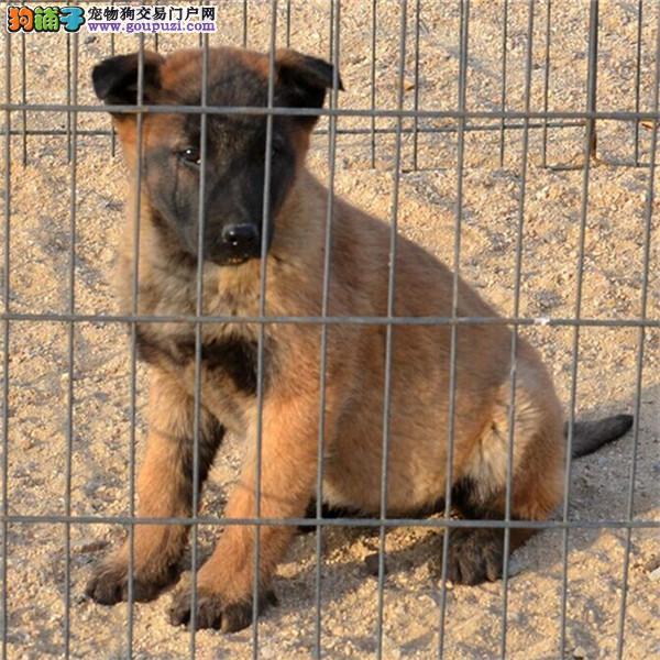 哈尔滨出售马犬公母都有品质一流期待您的光临2