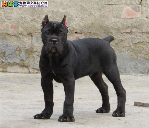 纯种卡斯罗幼犬 重头版大骨量 黑色勇士正规狗场保健