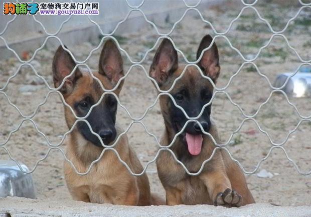 纯种马犬、马犬、保证纯种健康 、终身质保、饲养指导