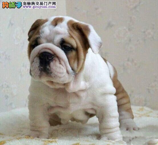 疫苗驱虫已做好北京纯种英牛犬出售签质保协议英斗