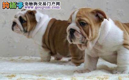 北京可爱呆萌英国斗牛犬 英斗萌犬幼犬可协议 售后三包1