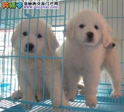 和田地区正规狗场出售健康纯种大白熊幼犬多只可选