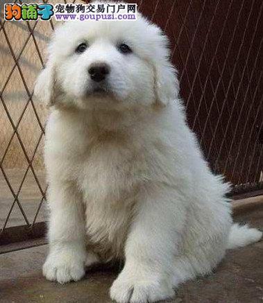 南宁品纯种大白熊幼犬终身品质保障品相极佳确保健康