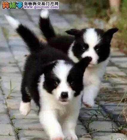 赛级宠物级边境牧羊犬 边牧犬幼犬公母全有广州出售