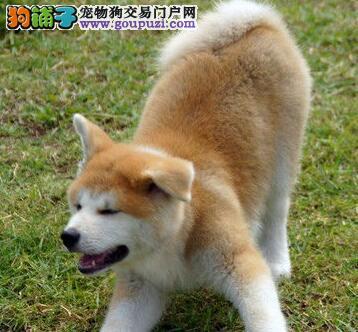 巴中售高品质日系秋田犬赛级品质证书齐加微信视频看狗