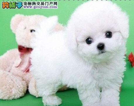 高品质韩系血统泰迪犬南京犬舍直销 担保狗狗纯种