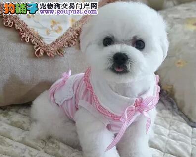 北京售比熊宝贝棉花糖幼犬白色粉扑欢迎选购图片