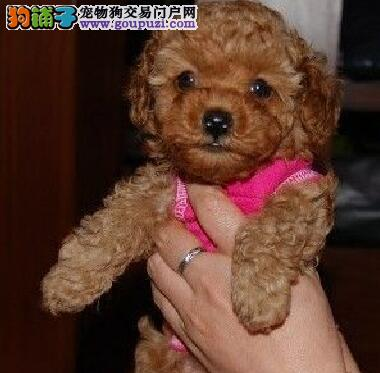 嘉峪关热销贵宾犬颜色齐全可见父母签订合法售后协议