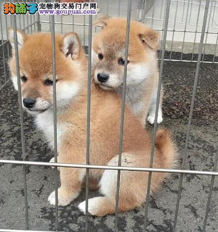 出售南京柴犬健康养殖疫苗齐全我们承诺售后三包