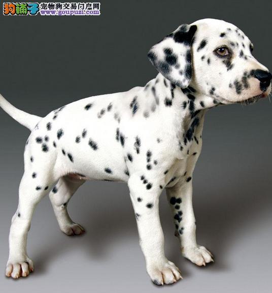 郑州出售斑点狗幼犬品质好有保障狗贩子请勿扰