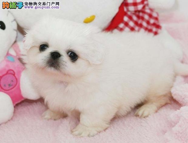 高端京巴幼犬,CKU认证犬舍,等您接它回家
