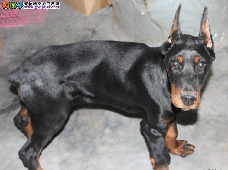 好礼送不停北京纯种杜宾犬保健康协议出售价格合理