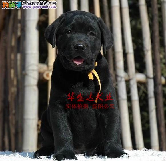 极品拉布拉多在这里、保障纯种和健康十佳犬舍CKU认证