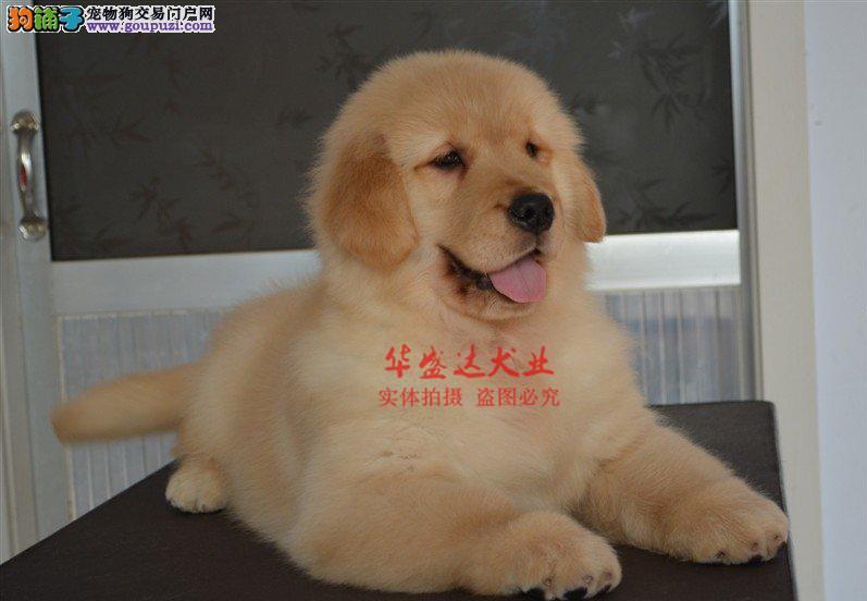 极品金毛犬在这里、保障纯种和健康、十佳犬舍CKU认证
