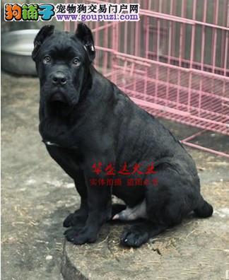 极品卡斯罗在这里、保障纯种和健康、十佳犬舍CKU认证
