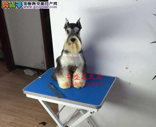 极品雪纳瑞在这里、保障纯种和健康、十佳犬舍CKU认证