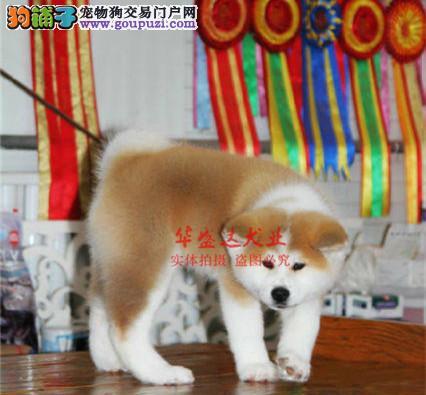 极品秋田犬在这里、保障纯种和健康、十佳犬舍CKU认证
