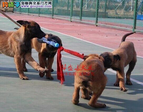 极品马犬在这里、保障纯种和健康、十佳犬舍CKU认证