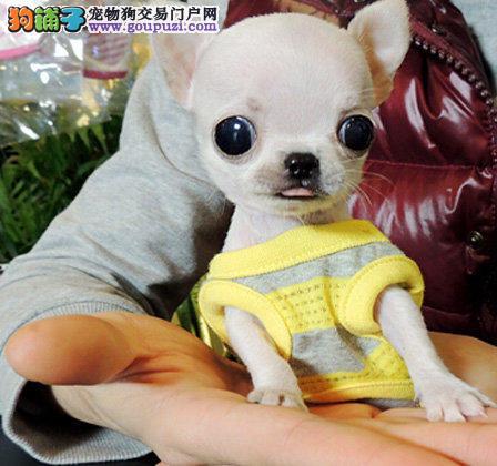极品吉娃娃在这里、保障纯种和健康、十佳犬舍CKU认证