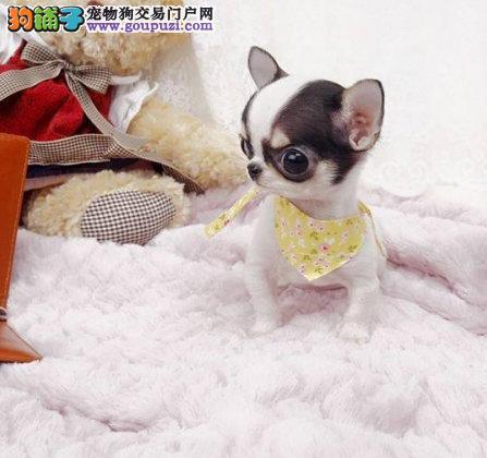 信誉第一 品质第一 精品吉娃娃幼犬 健康质保 十佳犬舍1