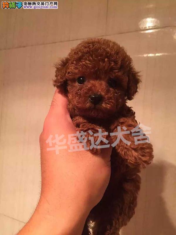 信誉第一 品质第一 精品泰迪幼犬 健康质保 十佳犬舍
