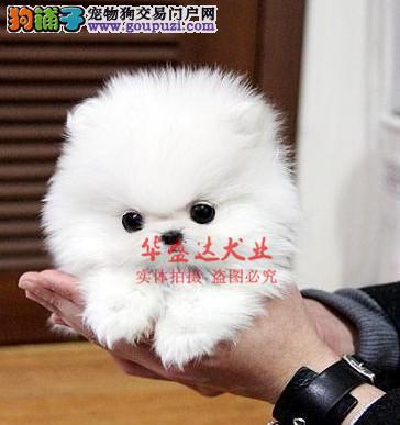 信誉第一 品质第一 精品博美幼犬 健康质保 十佳犬舍