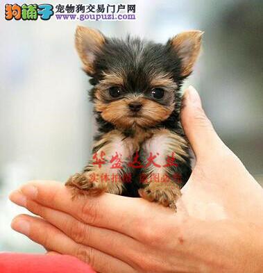 信誉第一 品质第一 精品约克夏幼犬 健康质保 十佳犬舍