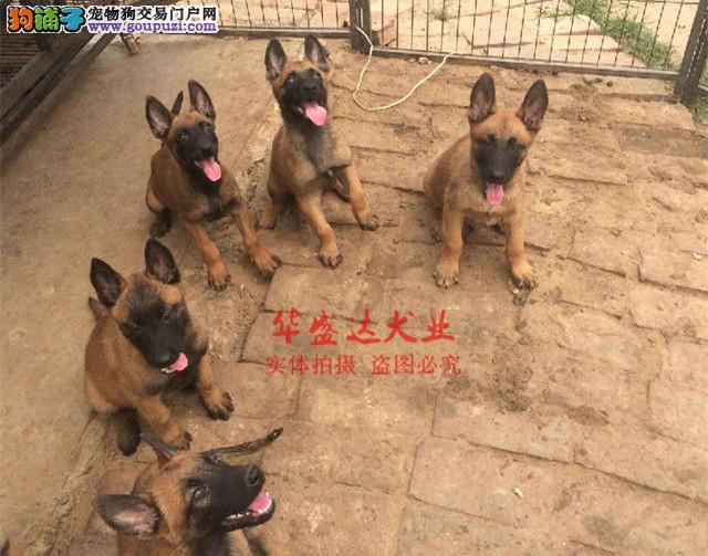 信誉第一 品质第一 极品马犬幼犬 健康质保 十佳犬舍