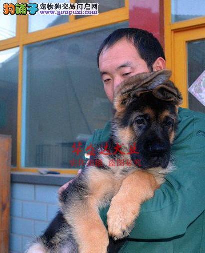 信誉第一 品质第一 狼狗 狼狗 幼犬 健康质保 十佳犬舍
