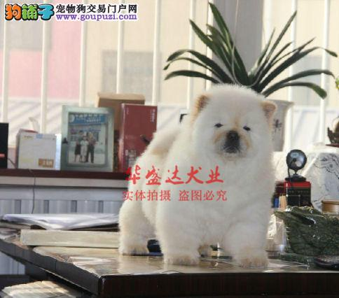 信誉第一 品质第一 精品松狮幼犬 健康质保 十佳犬舍