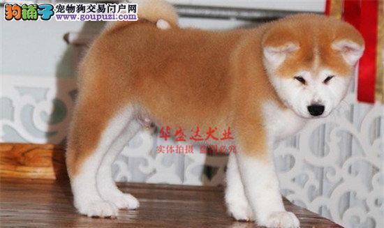信誉第一 品质第一 精品秋田幼犬 健康质保 十佳犬舍