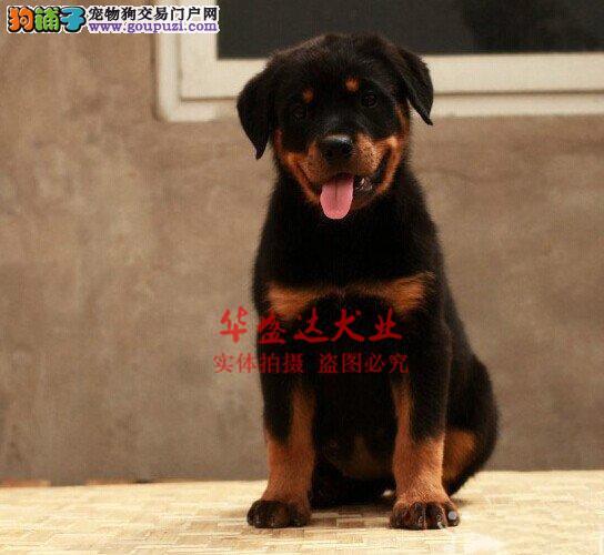 信誉第一 品质第一 大头罗威纳幼犬 健康质保 十佳犬舍