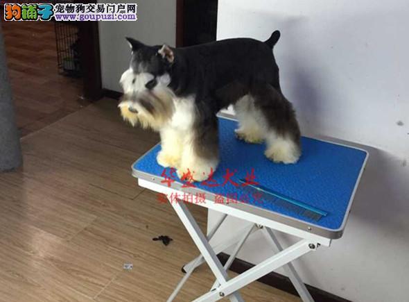 信誉第一 品质第一 精品雪纳瑞幼犬 健康质保 十佳犬舍