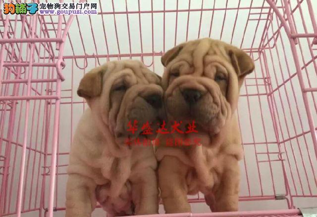 信誉第一 品质第一 精品沙皮幼犬 健康质保 十佳犬舍
