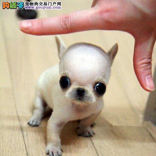 信誉第一 品质第一 精品吉娃娃幼犬 健康质保 十佳犬舍4