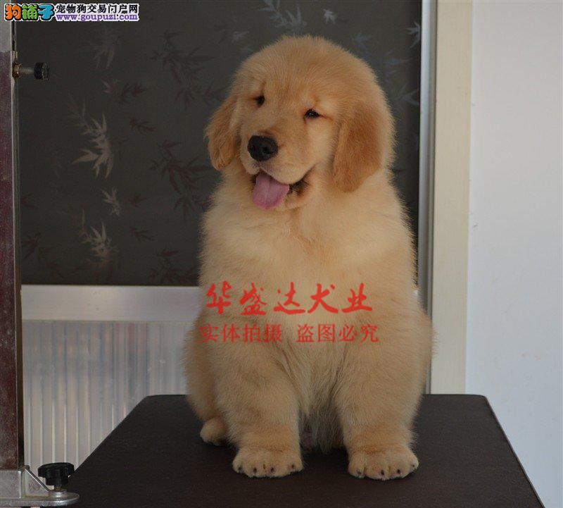 信誉第一 品质第一 精品金毛幼犬 健康质保 十佳犬舍