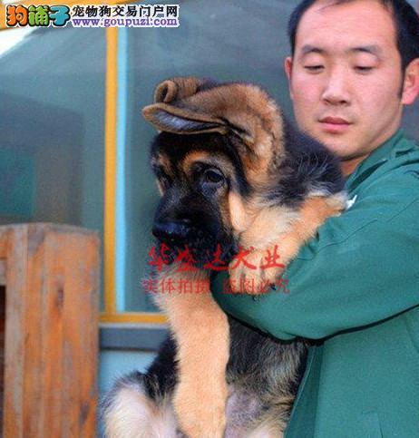 信誉第一 品质第一 德国牧羊犬 健康质保 十佳犬舍