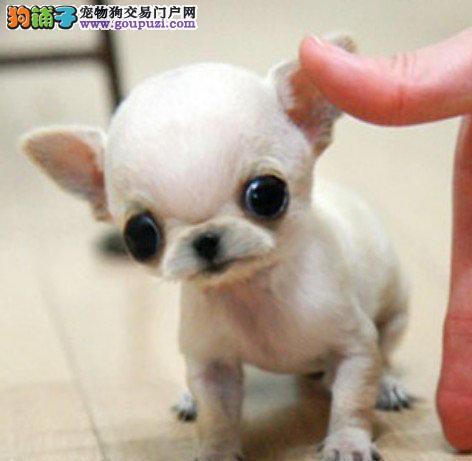 信誉第一 品质第一 精品吉娃娃幼犬 健康质保 十佳犬舍3