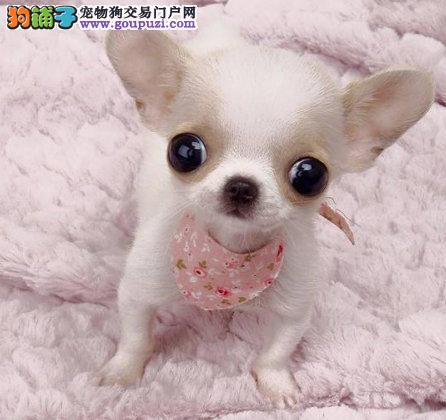 信誉第一 品质第一 精品吉娃娃幼犬 健康质保 十佳犬舍2