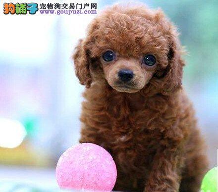 诚信交易、纯种贵宾犬、健康终身保障、签协议送狗用品