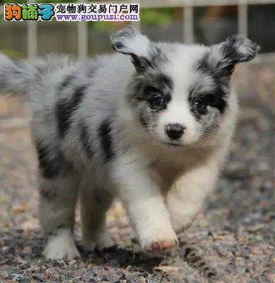 北京最大的边牧犬基地 完美售后 质量三包 可送货上门